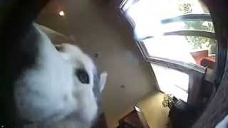 Siberian Husky (cammy) Adopted From Ara Husky Rescue Outsmarts Surveillance Camera