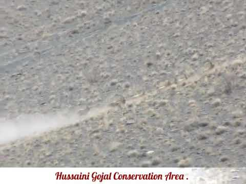 thousands of Ibexes in Hussaini conservation area