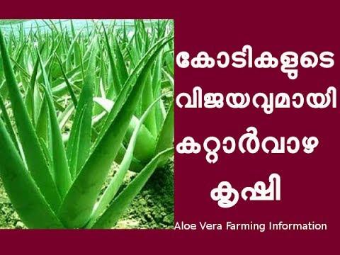 കറ്റാർവാഴ കൃഷി രീതി Aloe Vera Cultivation Tips