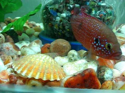 My jewel fish with her eggs.avi