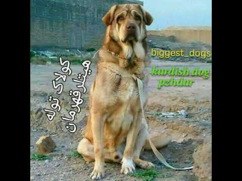 Top 10 Guard dogs 2019/Kurdish dog breed/Pejdar dog Pshdar/AKC