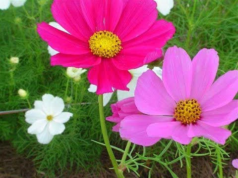 Amazing and Most Beautiful Cosmea Flowers   Cosmos Flowers   YouTube Amazing and Most Beautiful Cosmea Flowers   Cosmos Flowers