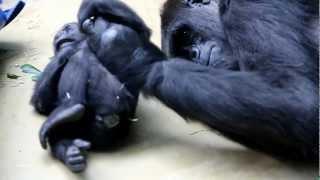 Gorilla-Baby Milele wird geknuddelt / Baby gorilla is being cuddled thumbnail