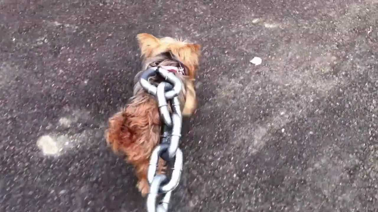 New Leash I Bought For My 4lb 6oz Yorkie 2017