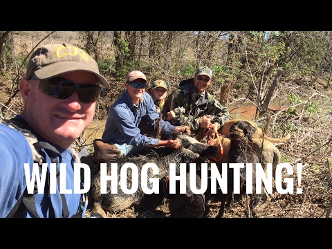 Wild Hog  With Black Mouth Curs!
