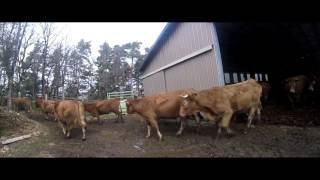 mise en pature des vaches