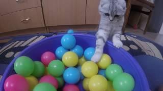 СМЕШНАЯ КОШКА ХЛОЯ 😻 Приколы с Кошкой Шотландская Вислоухая 🐱 Funny Scottish Fold Cat