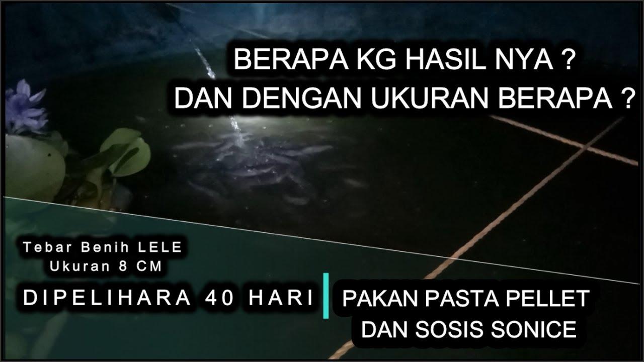 TEBAR BENIH LELE UKURAN 8 CM, DI PANEN 40 HARI, HASIL NYA ???