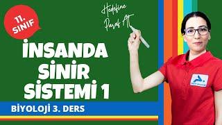İnsanda Sinir Sistemi 1 | 11. Sınıf Biyoloji Konu Anlatımları #11bylj