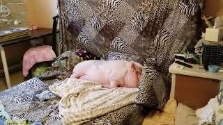 """""""MINI PIG"""" HAS THE ROUGHEST LIFE 😂"""
