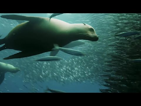 Sardine Feeding Frenzy: Whale, Shark, Dolphin And Sea Lions | The Hunt | BBC Earth