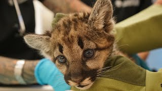 Rescued mountain lion cubs headed to Ohio