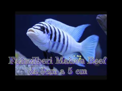Fainzilberi Maison Reef Da 3cm A 5cm