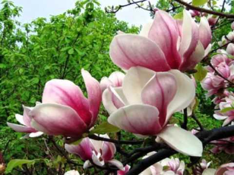Цветет магнолия