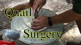 Quail Surgery to Fix Twine Around Legs Problem