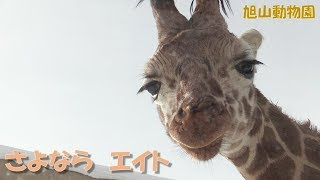 """【アミメキリン】さよなら...エイト(旭山動物園)Reticulated giraffe """"Eight"""" passed away"""