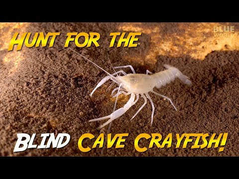 Blind Cave Crayfish Quest! | JONATHAN BIRD'S BLUE WORLD