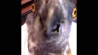 видео Сенегальський папуга