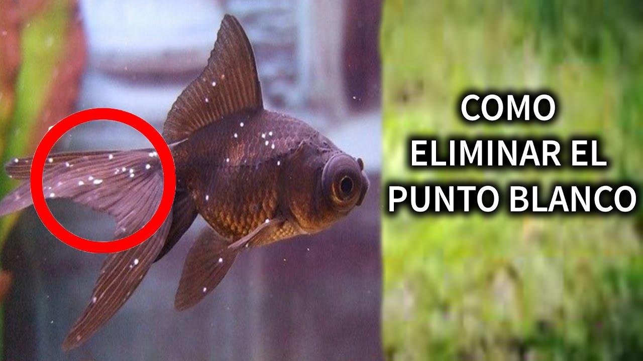 como curar el punto blanco en cualquier pez de una forma