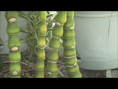 how to grow giant bamboo from cuttings