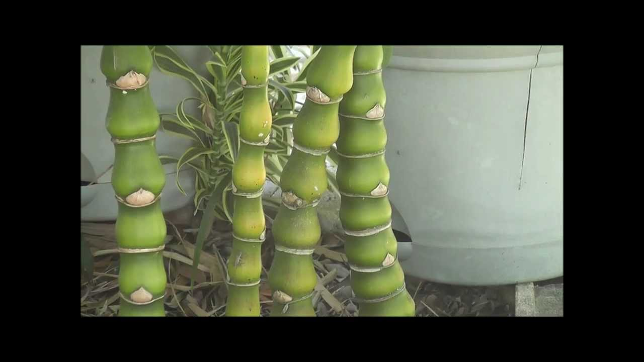 Different Types Of Bamboo Plants