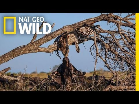 Leopard and Buffalo 'Kiss' In Rare Moment Caught on Film | Nat Geo Wild