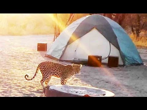 Leopard Visiting The Campsite - Latest Sightings