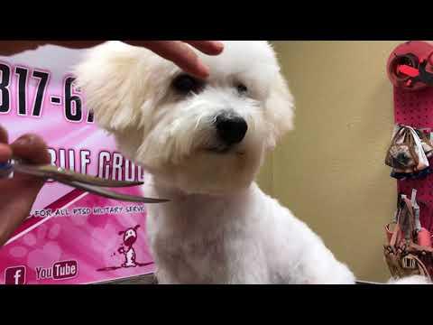 Cutest Bichon puppy teddy bear head haircut