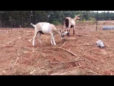 Flipping goat!