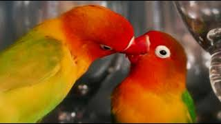Mating Sound ! Suara Ritual Kawin Lovebird Terbaru