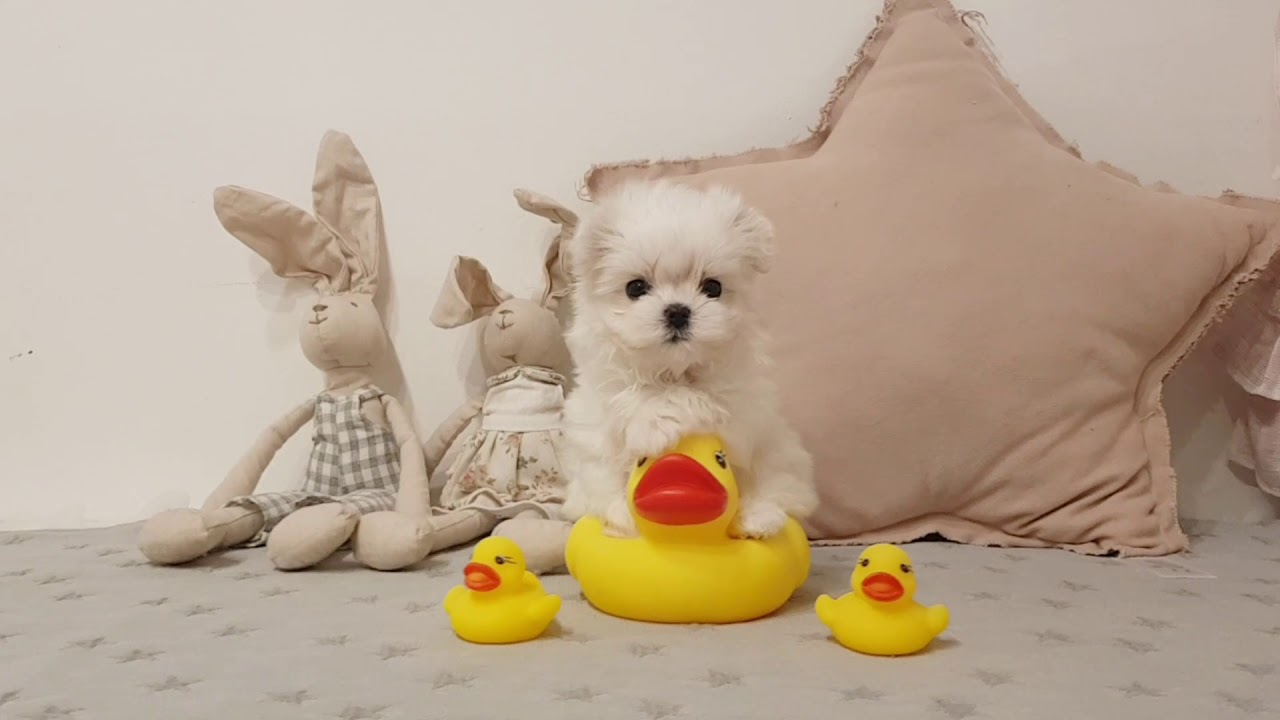 Matelse is so cute! lovely puppy video lovely pet - Teacup puppies