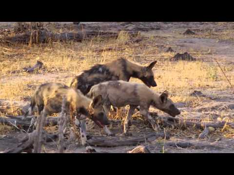 African Wild Dogs Of Botswana