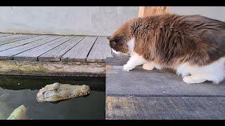 RC Alligator In Koi Pond (Cat Prank)