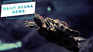 Daily Scuba News - Turtles Can Breathe Through Their Butt?!
