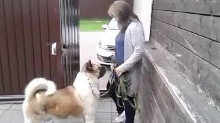 Как спокойно выходить на прогулку?Дрессировка Собаки.Кинолог Севостьянова Наталья.mir_glazami_sobak