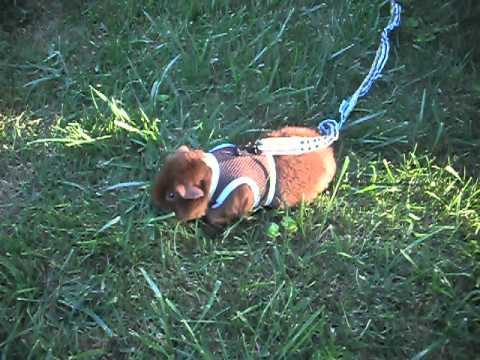 Guinea pig on leash youtube guinea pig on leash publicscrutiny Image collections