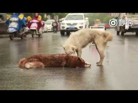 Dog stays by side of its dead friend & keeps trying to wake it up after the friend was hit by a car