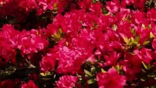 Rododendros en Wageningen
