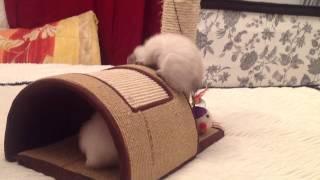 Меконгский (Тайский) бобтейл котята питомника Кофеин Прайд. Mekong bobtail kittens of Cofein-Pride.