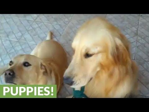 Golden Retriever enthusiastically carries groceries into home