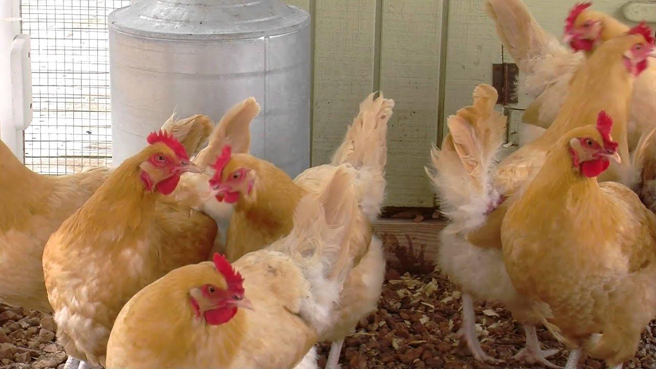 Chicken Feed Basics Mapping A Feeding Program Youtube