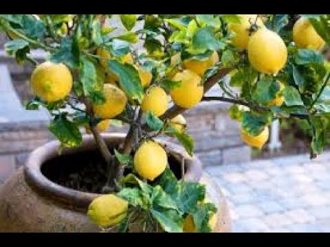 How to Grow Fruit Trees in Containers: Complete Guide