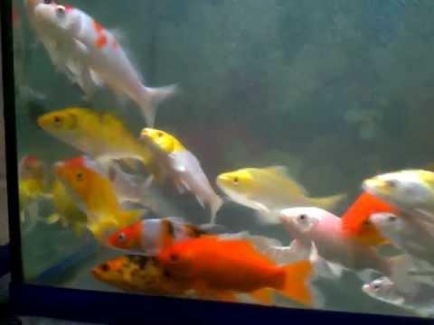 Koi Fish In Tank Goldfish Hi Fin Hammerhead Etc