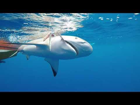 Shark Fishing On Riviera Maya