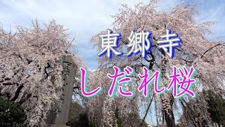 東京府中市にある東郷寺。東郷平八郎の別荘跡に建立された寺では、枝垂...