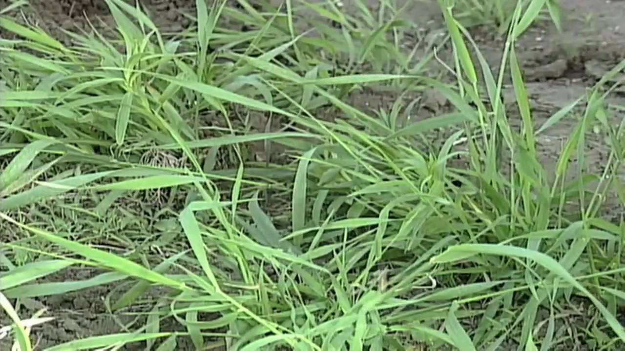 Weed Of The Week 581 Quackgrass From Ag Phd 581 5 24