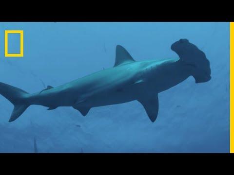 La tête du requin-marteau est un récepteur de signaux