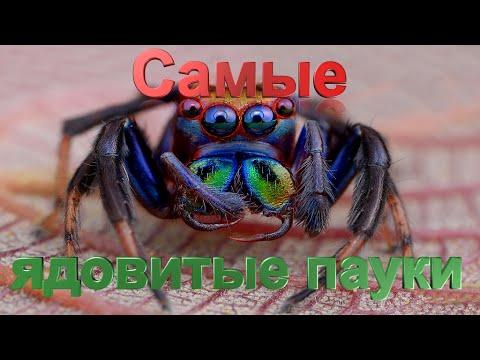 Топ 10 самые ядовитые пауки в мире - YouTube