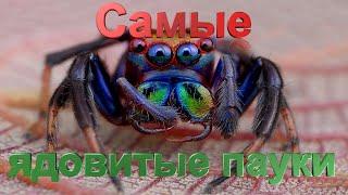 Топ 10 самые ядовитые пауки в мире