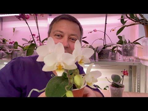 ТЕМПЕРАТУРА для орхидей ЗИМОЙ, влажность и температура для фаленопсисов
